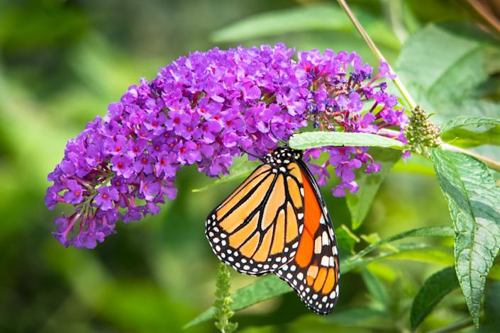 Vibrant purple buddleia or butterfly bush flower with a feeding  Monarch Butterfly.