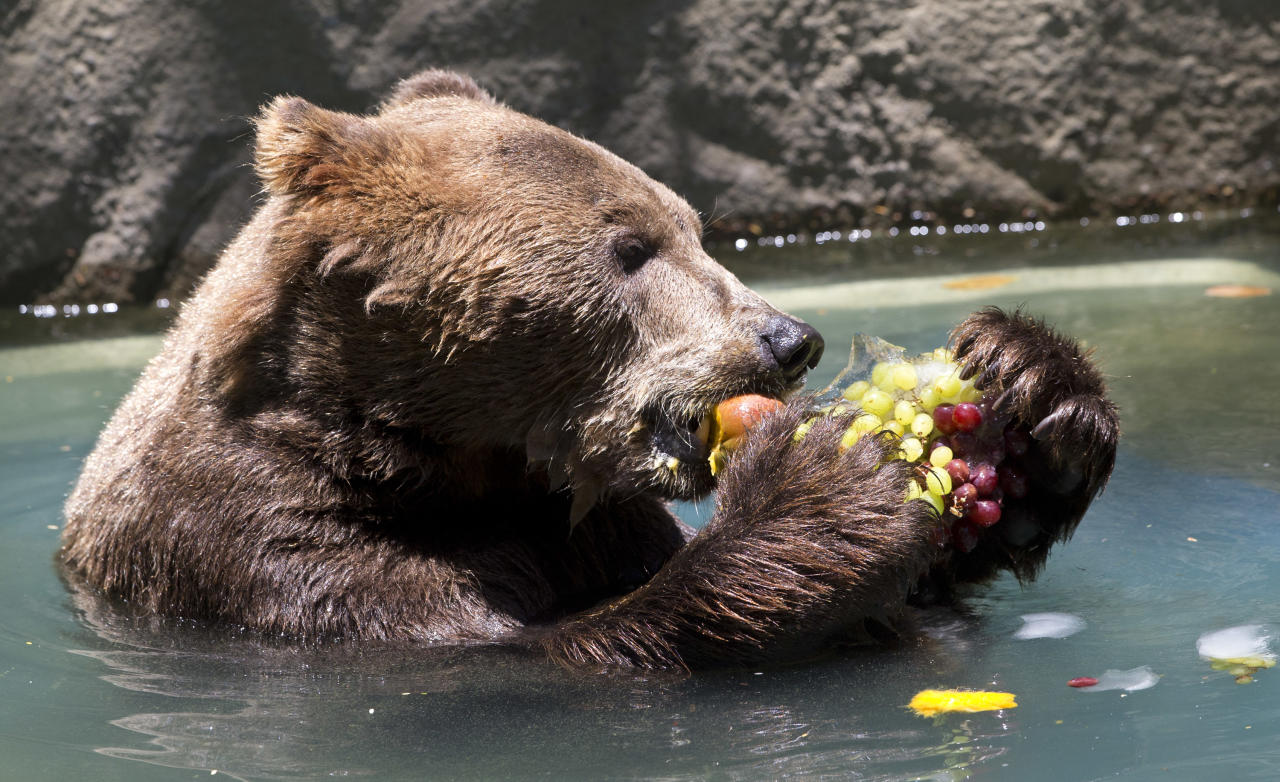 A bear named Ze Comeia eats frozen fruit at the city zoo in Rio de Janeiro, Brazil, Wednesday, Jan. 8, 2014. It's so hot, animals at the Rio de Janeiro zoo won temporary relief Wednesday with popsicles made from tropical fruits, chunks of meat and frozen yogurt. (AP Photo/Silvia Izquierdo)