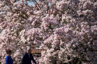 People walk by a blooming tree on a fine spring day in Stratford-upon-Avon, England, Sunday April 4, 2021. During current coronavirus restrictions people are allowed to meet up and exercise in the open air. (Jacob King/PA via AP)