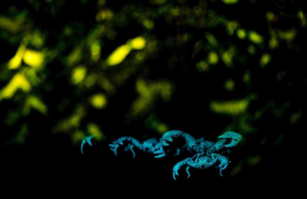 <p>A colony of a giant forest scorpions captured during midnight. The black scorpions glow with a blue bluish when illuminated using an ultraviolet torch. (RPS/Pratik Pradhan) </p>