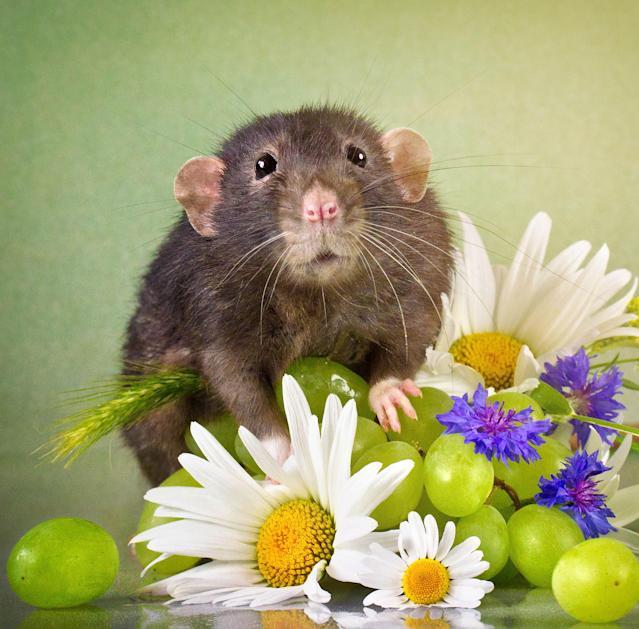 """<p>Through her images, Diane hopes to showcase the positive characteristics of rats — especially pet rats, which, she said, are """"mellow and playful little creatures."""" (Diane Ozdamar/Caters News) </p>"""