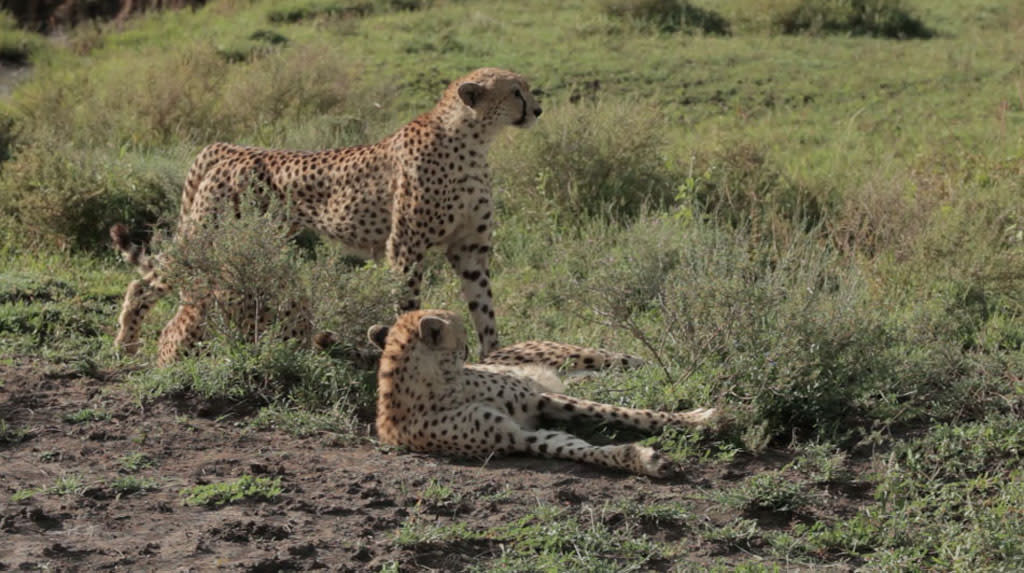 Tanzania, Africa - Three cheetahs in the grass.By dissecting never-before-seen footage of two lions' brutally attacking four cheetahs, Lion v. Cheetah sheds new light on the dark underpinnings of the relationship between two of Africa's top predators.