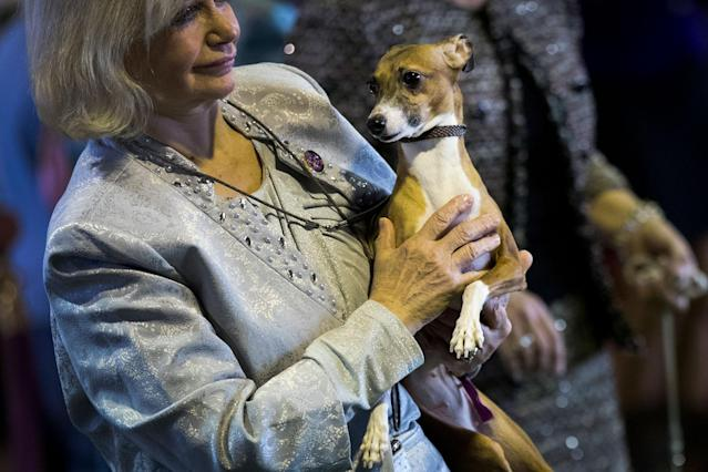 <p>A handler holds her Italian greyhound before competing at the 142nd Westminster Kennel Club Dog Show at The Piers on Feb. 12, 2018 in New York City. (Photo: Drew Angerer/Getty Images) </p>