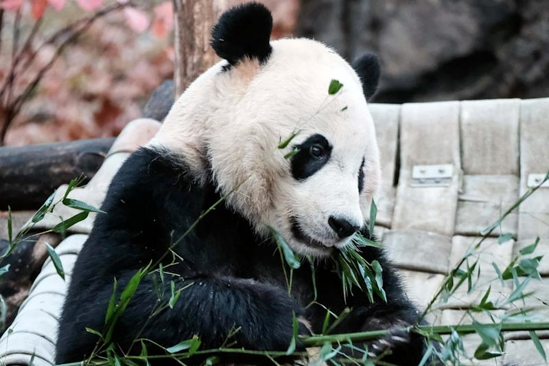 Giant panda Bei Bei eats bamboo before heading back to China: AP