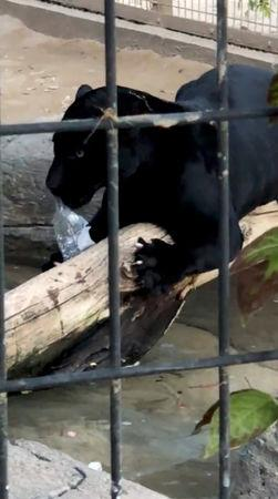 The jaguar that attacked a woman plays with a plastic bottle at the Wildlife World Zoo in Litchfield Park