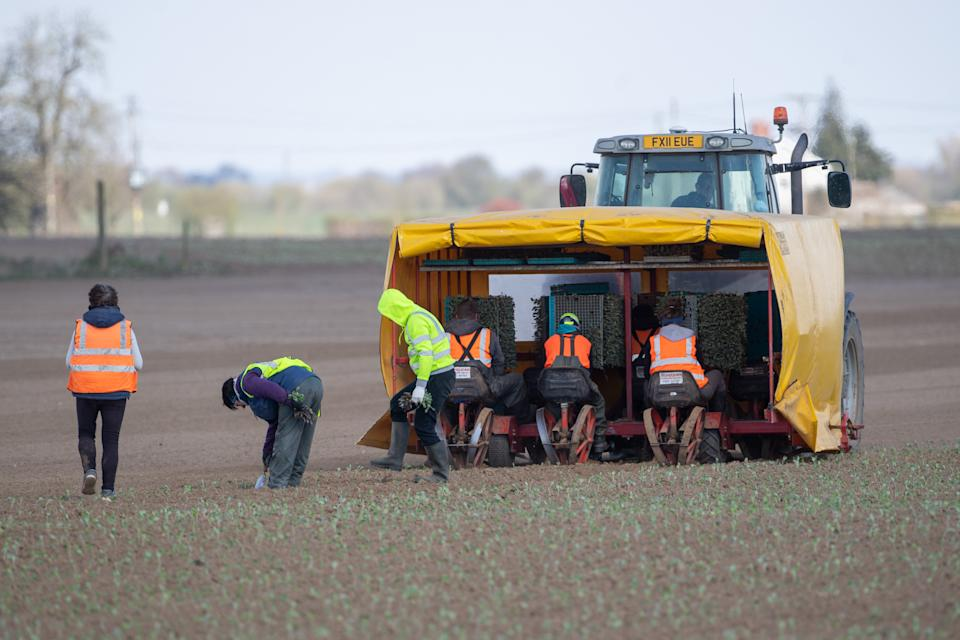 Workers plant crops in a field near Boston, Lincolnshire. Tens of thousands of people have applied to pick fruit and vegetables as farms across the UK face a season without their usual workforce flying in from other countries due to coronavirus travel restrictions. (Photo by Joe Giddens/PA Images via Getty Images)