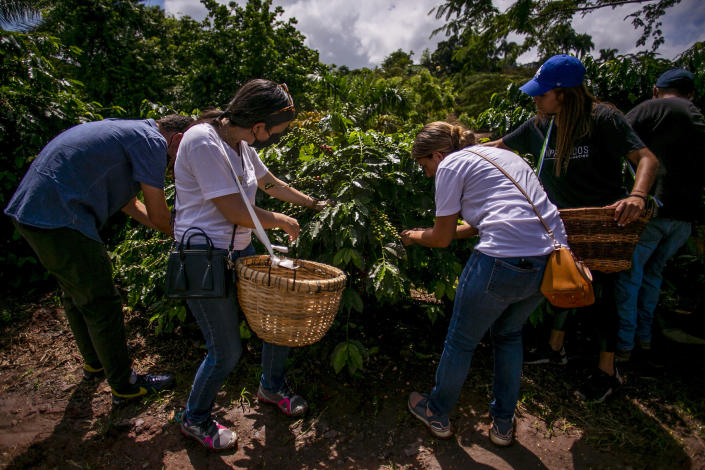 Volunteers who helped Pedro Pons harvest his first coffee crop since the hurricane completely swept his farm in 2017 (Johnny De Los Santos / ConPRmetidos)