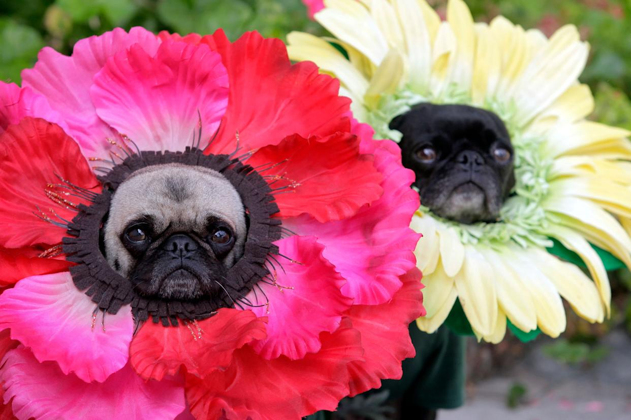 """This photo taken Oct. 4, 2009 shows pugs Mochi, left, and Olive posing for a photo dressed in their Halloween costumes at flowers at their home in Huntington Beach Calif. The stepsisters have been geisha girls, surfer girls and sushi over the years. They may not understand the tradition, but """"pugs understand positive energy,"""" explained dog owner, partner and costume designer Lisa Woodruff. (AP Photo/Richard Vogel)"""