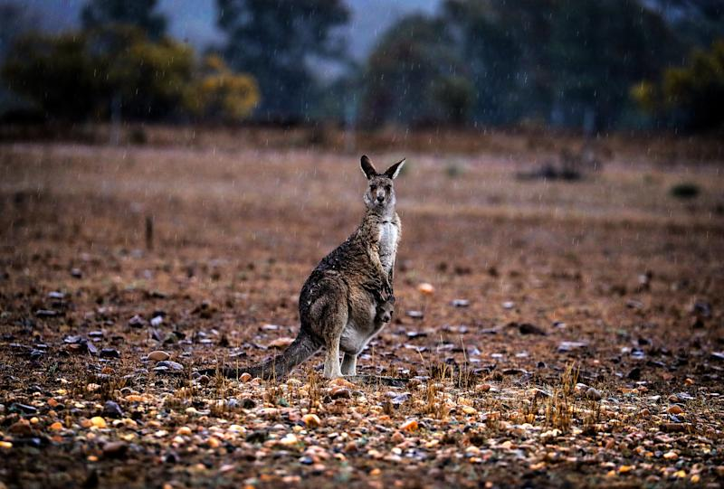 A kangaroo with a joey in her pouch stands in a drought-affected paddock as rain falls in September on the outskirts of Dubbo, NSW.