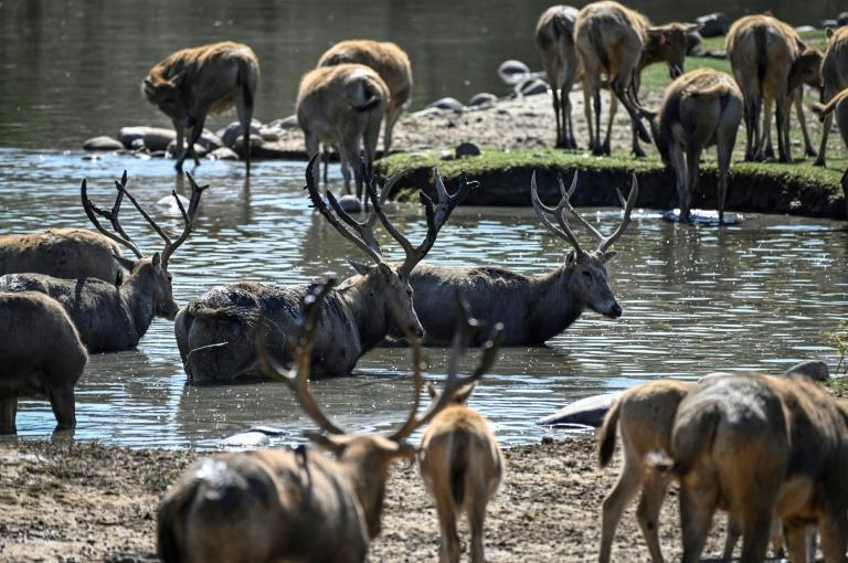 The captive population of Pere David's deer is now about 8,000, according to official figures (AFP/Jade GAO)