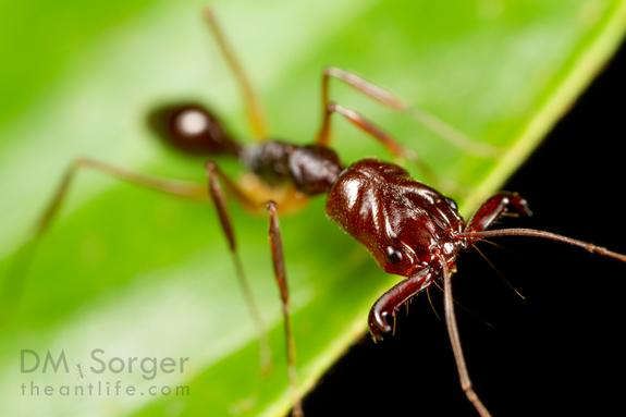 Oh Snap: Trap-Jaw Ants Jump with Their Legs, Too