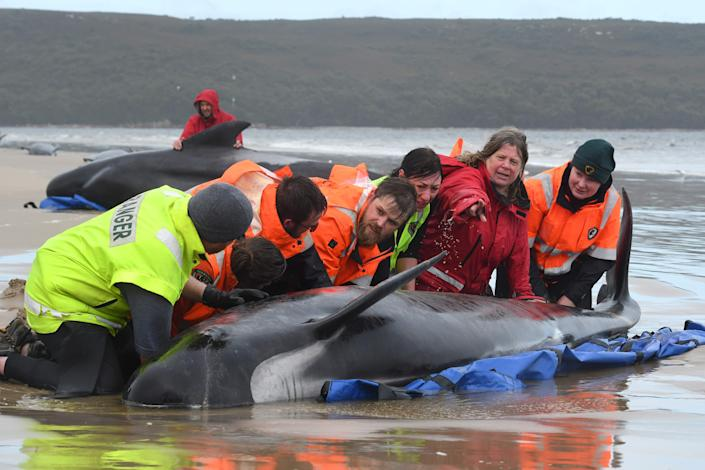 Rescuers working to save the whales stranded on a beach on the rugged west coast of TasmaniaBRODIE WEEDING/THE ADVOCATE/AFP