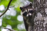 <p><strong>State Wild Animal: Raccoon</strong></p><p>While the state has an official amphibian (the Tennessee Cave Salamander) and horse (Tennessee Walking Horse) and reptile (Eastern Box Turtle), the adorable little trash panda joined the list as the official wild animal 1971. </p>