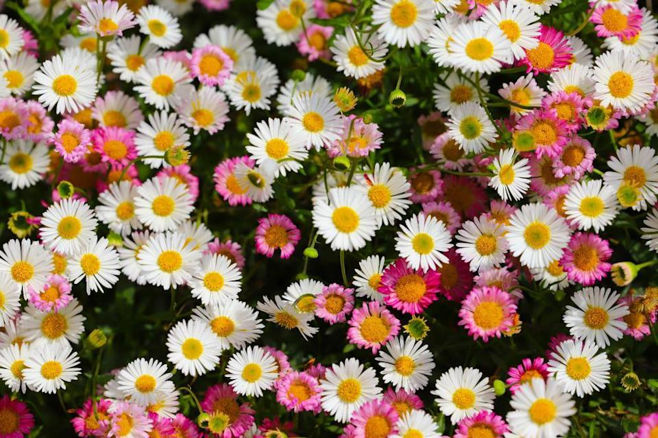 Close up of Mexican fleablane daisy (Erigeron karvinskianus) on a sunny day growing in my garden in Cardiff, Wales, UK