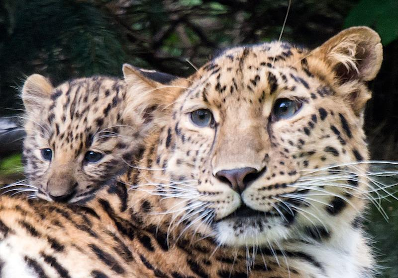 Leopard Enters House Near Bengaluru, Subdued After 9-Hour Drama