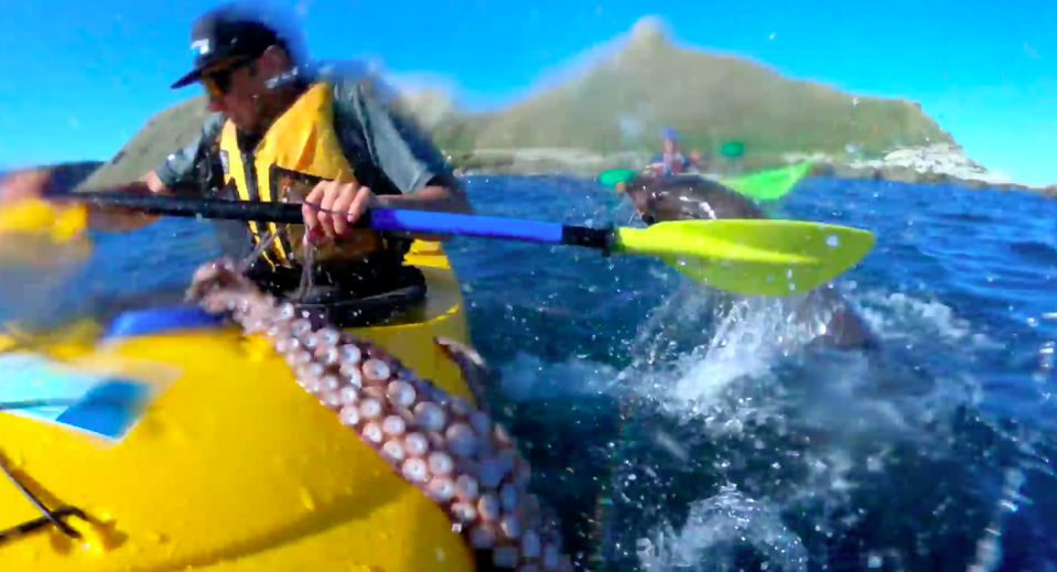 GoPro footage shows giant seal throws octopus at New Zealand kayaker in fight