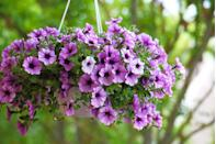"""<p>These colorful annuals have the potential to keep away bugs like aphids, certain beetles, leafhoppers, and squash bugs. But, keep in mind that you need them to bloom to do their thing. Petunias' potential bug-repellent properties """"may only be there if flowers are present,"""" Pereira says.</p>"""