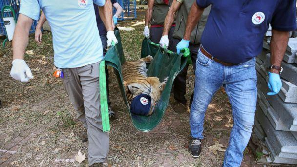 PHOTO: A tiger is carried in a stretcher to receive medical treatment from Four Paws in Bursa, Turkey, July 26, 2017, after being rescued from Syria's Aleppo zoo. (Ali Atmaca/Anadolu Agency via Getty Images)