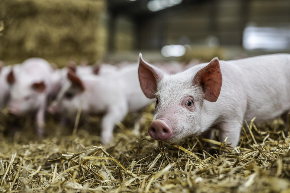 Morebattle, Kelso, Scottish Borders, UK. 24th January 2020. Four week old pigs indoors on a farm near Kelso in the Scottish Borders. The pigs sleep in groups for warmth, and self designate areas of the barn for sleeping, foraging, and latrines.