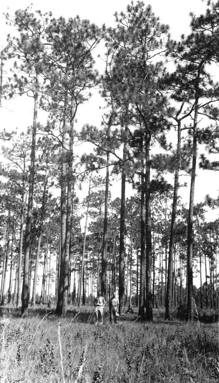 This photo from Florida's State Archives, taken near Mount Pleasant, Florida, on Aug. 7, 1936, shows two men in front of a stand of virgin longleaf pine before it was logged. When European settlers came to North America, fire-dependent savannas anchored by lofty pines with footlong needles covered much of what became the southern United States. Yet by the 1990s, logging, clear-cutting for farms and development and fire suppression had all but eliminated longleaf pines and the grasslands beneath where hundreds of plant and animal species flourished. Now an intensive effort in nine coastal states from Virginia to Texas is bringing back the pines named for the long needles prized by Native Americans for weaving baskets. (Florida Forest Service/Florida's State Archives via AP)
