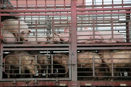 China says pig herd shrinks by 32% in July amid swine fever outbreak