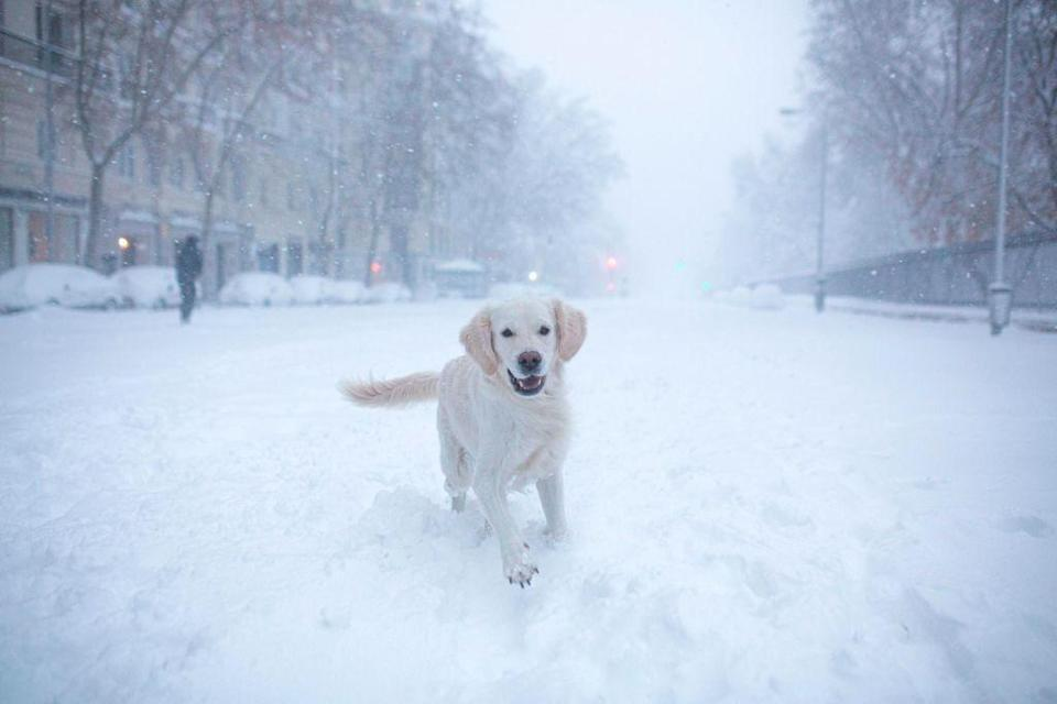 <p>When a freak heavy snowstorm covered Madrid, Spain, in a blanket of snow, the pets were more than happy to get outside. That's evidenced by this photo of a very excited dog playing in a snowy street. </p>