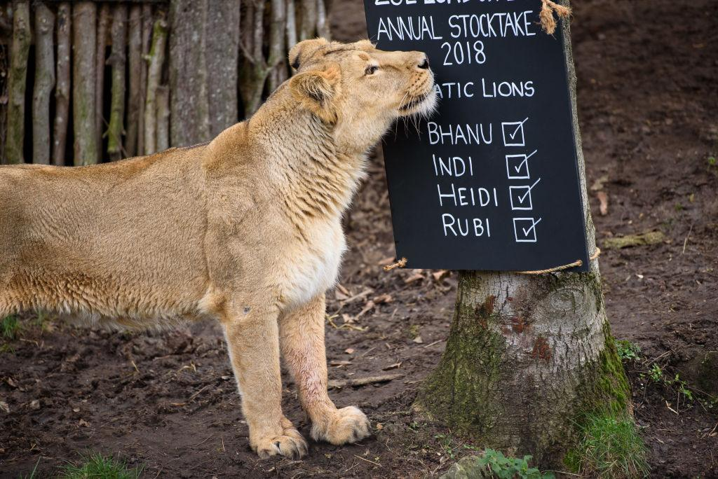 <p>Lions in their enclosure during the ZSL London Zoo annual stock in London, England. (Joe Maher/Getty Images) </p>