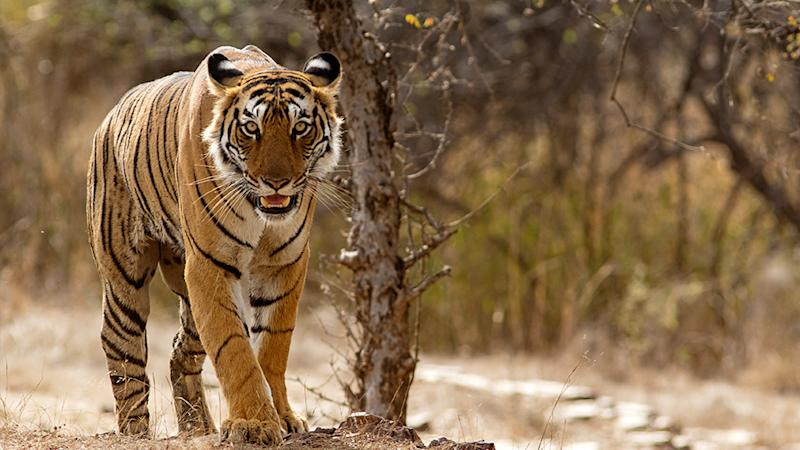 Pictured in this generic photo is a female Bengal tiger at the Ranthambhore National Park in Rajasthan, India