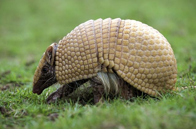 """A handout undated picture released by A Caatinga NGO shows a Brazilian Three banded armadillo (Tolypeutes tricinctus), aka Tatu-Bola in Portuguese. The Tatu-Bola was chosen as the mascot of the FIFA World Cup Brazil 2014 and will be presented next September 16 during a television programme. AFP PHOTO/ Mark PAYNE-GILL/naturepl.com/A Caatinga RESTRICTED TO EDITORIAL USE - MANDATORY CREDIT """"AFP PHOTO/ Mark PAYNE-GILL/naturepl.com/A Caatinga"""" - NO MARKETING NO ADVERTISING CAMPAIGNS - DISTRIBUTED AS A SERVICE TO CLIENTSMark Payne-Gill/AFP/GettyImages"""