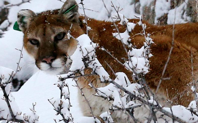 A mountain lion makes its way through fresh snow in the foothills of Colorado - REUTERS