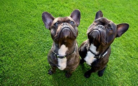 The French Bulldog is now the UK's most popular dog - Credit: Moment RF
