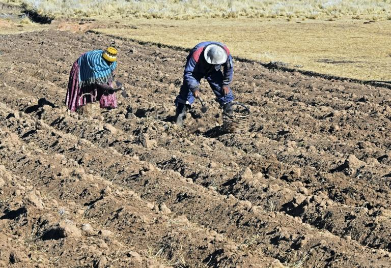 A Bolivian man and woman harvest potatoes that will be used to make chuno (dehydrated potatoes) in Machacamarca, Bolivia, on June 30, 2021