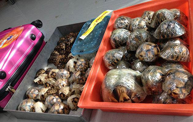 Rare tortoises discovered in luggage (P.Tansom/TRAFFIC)