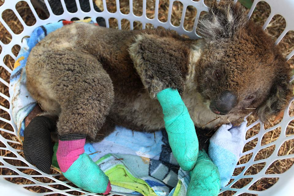 KANGAROO ISLAND, AUSTRALIA - JANUARY 08: An injured koala rests in a washing basket at the Kangaroo Island Wildlife Park in the Parndana region on January 08, 2020 on Kangaroo Island, Australia. The Kangaroo Island Wildlife Park positioned on the edge of the fire zone has been treating and housing close to 30 koala's a day. Almost 100 army reservists have arrived in Kangaroo Island to assist with clean up operations following the catastrophic bushfire that killed two people and burned more than 155,000 hectares on Kangaroo Island on 4 January. At least 56 homes were also destroyed. Bushfires continue to burn on the island, with firefighters pushing to contain the blaze before forecast strong winds and rising temperatures return. (Photo by Lisa Maree Williams/Getty Images)