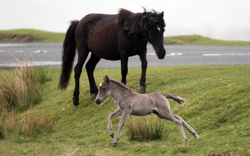 A Dartmoor Hill pony foal runs on the moor in Princetown - Credit: Matt Cardy/Getty Images