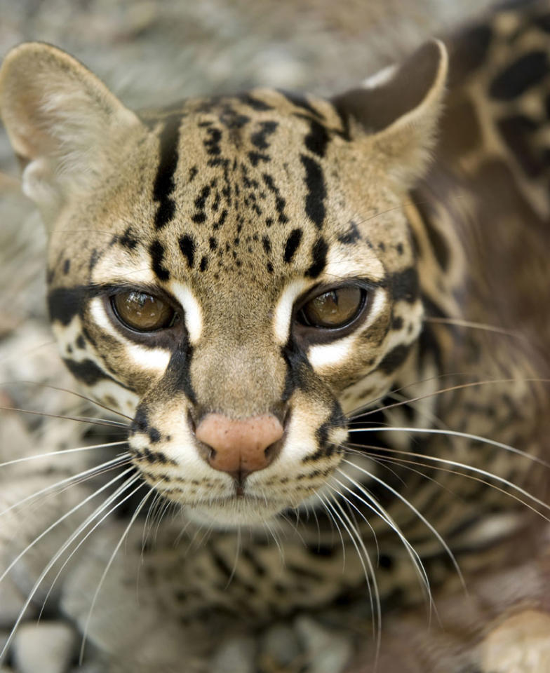 "An ocelot on ""Attack of the Big Cats."""