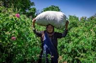 Picking roses is tough work in the blazing sun, with 20 kilos of flowers earning a worker just under seven dollars