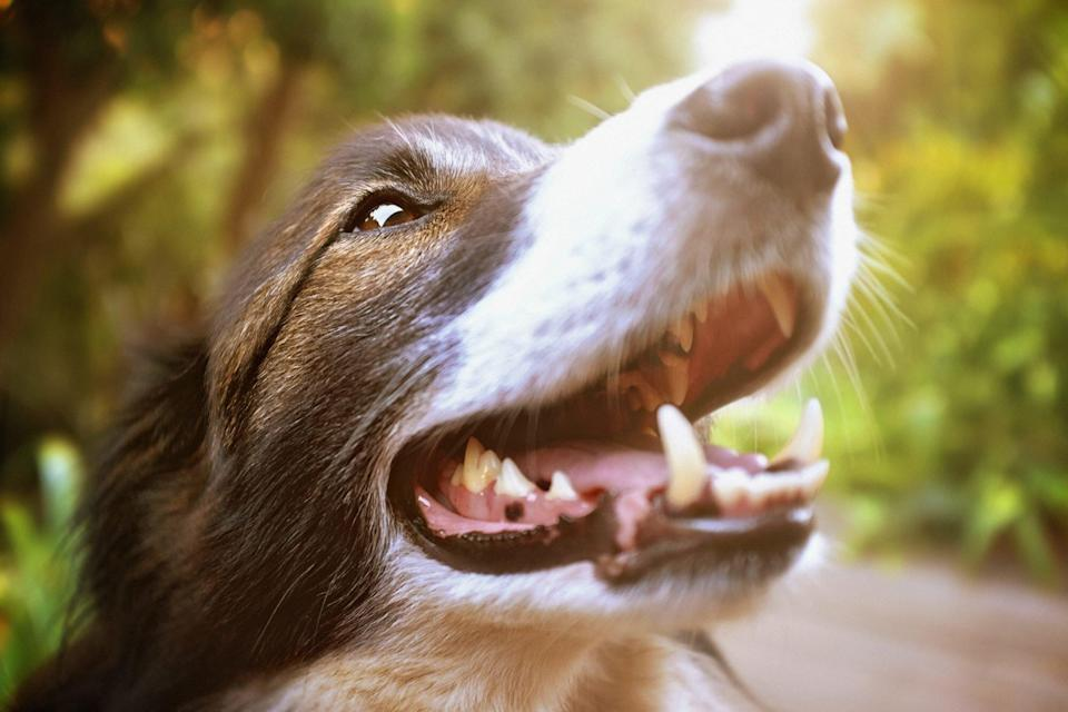 close up of dog smiling showing teeth
