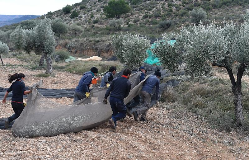 Eight permanent jobs -- including six agricultural workers -- have been created in Oliete thanks to a new olive oil mill, keeping families in the village or attracting new ones (AFP Photo/JOSE JORDAN)