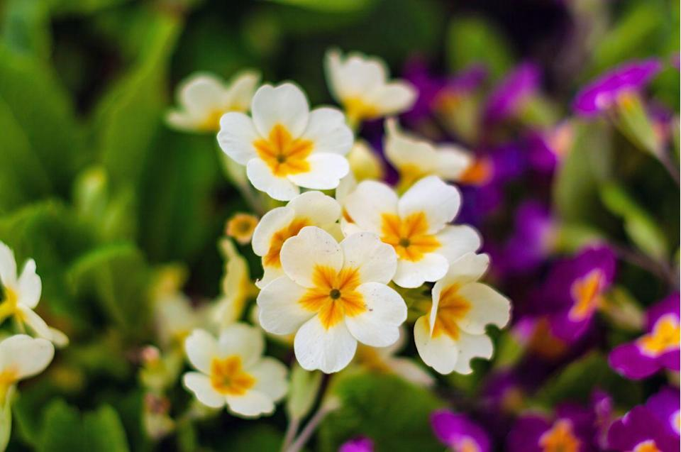 """<p>Keep your little ones busy during the school holidays by getting them to plant beautiful primroses. This stunning spring wildflower, which blooms into a variety of colours, is suitable for garden beds and pots. Make sure to place them in the right spot, as these blooms need moisture-retentive soil and partial shade.</p><p><a class=""""link rapid-noclick-resp"""" href=""""https://go.redirectingat.com?id=127X1599956&url=https%3A%2F%2Fwww.crocus.co.uk%2Fplants%2F_%2Fprimula-vulgaris%2Fclassid.2000014868%2F&sref=https%3A%2F%2Fwww.housebeautiful.com%2Fuk%2Fgarden%2Fplants%2Fg36446066%2Fplants-for-kids%2F"""" rel=""""nofollow noopener"""" target=""""_blank"""" data-ylk=""""slk:BUY NOW VIA CROCUS"""">BUY NOW VIA CROCUS </a> </p>"""