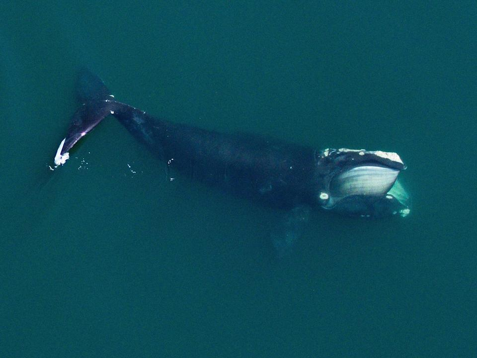 <p>Less than 400 right whales remain in the wild</p> (Michael Moore/Carolyn Miller/WHOI)