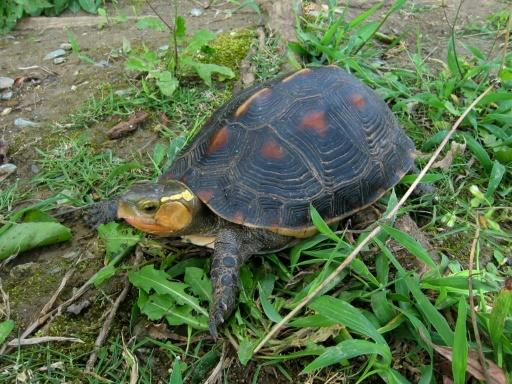 Yellow-margined box turtles were among dozens stolen from an Okinawa Zoo