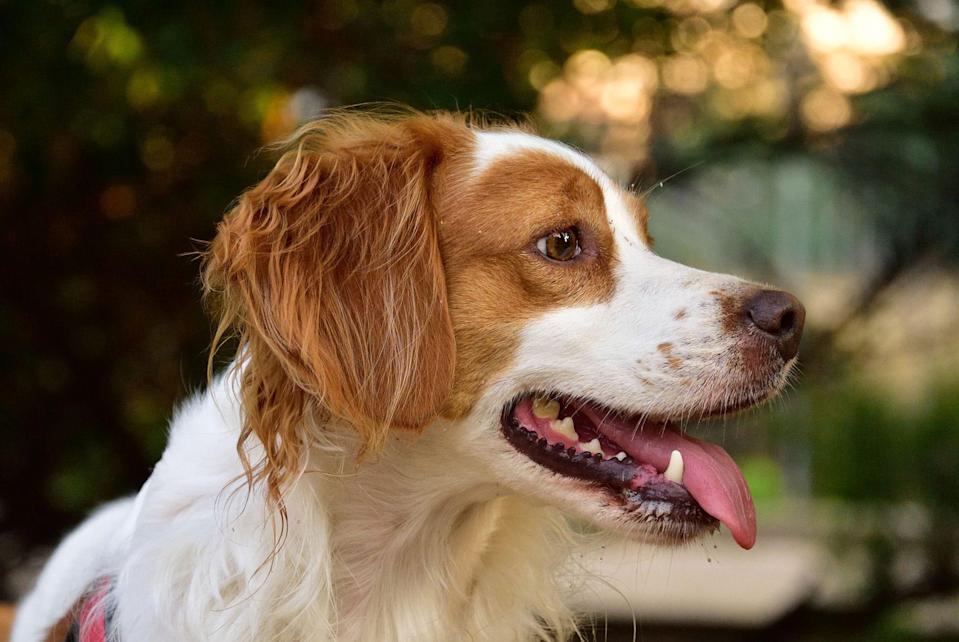 <p>Brittanys are a breed of spaniels that originated in France. The breed's dense fur helps protect him while on the trail, but it also keeps shedding at a minimum. Brittanys are high energy, but they're also highly trainable. Those qualities make them ideal for hunting.</p>