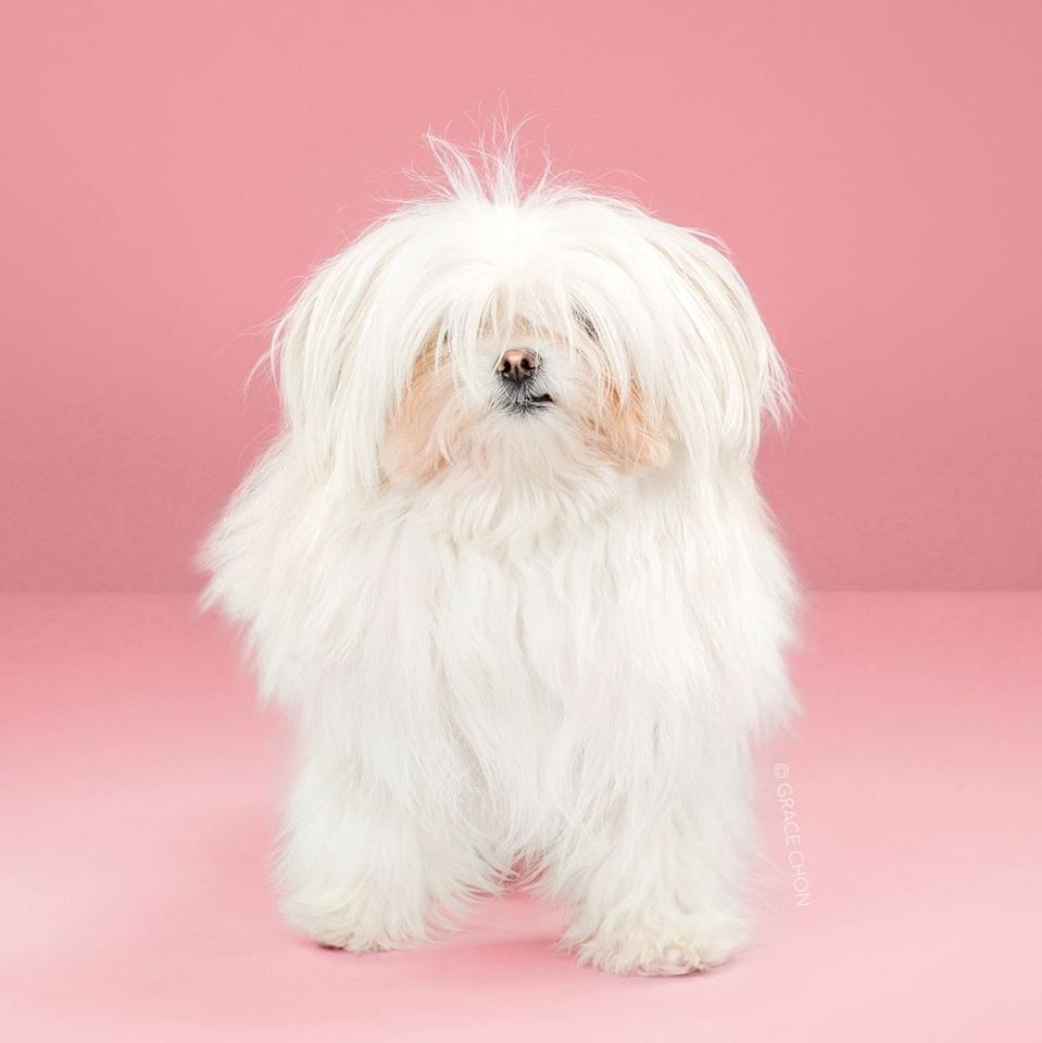 <p>Breed: Maltese</p>