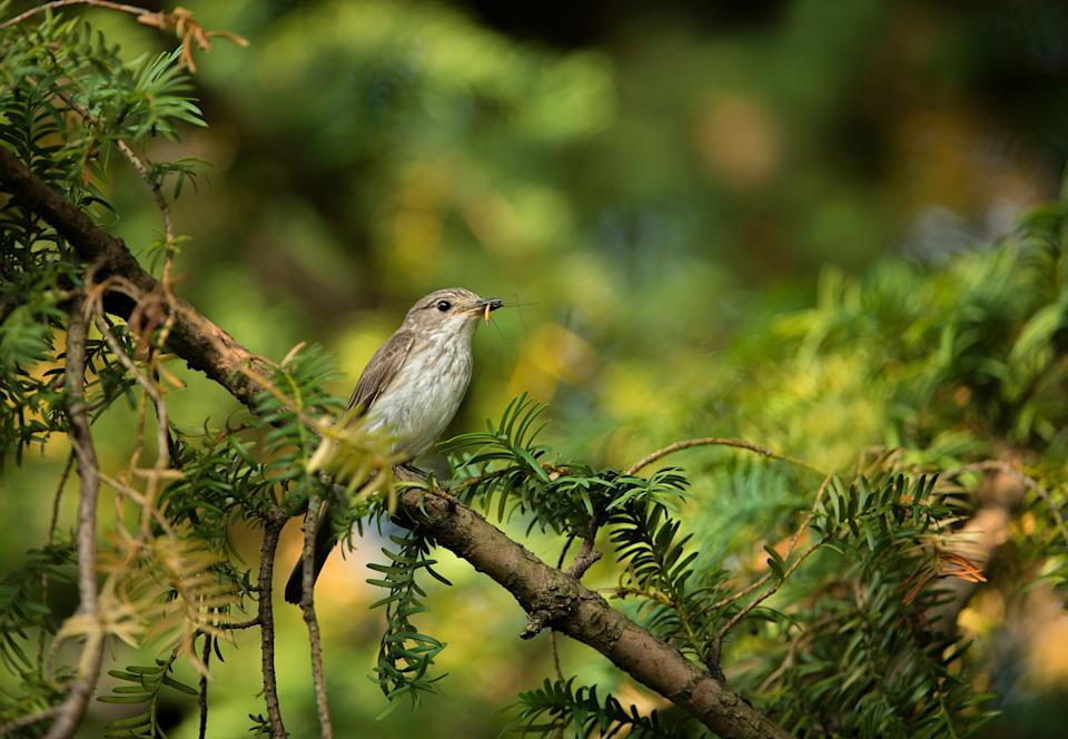 <p>Woodland bird the spotted flycatcher is in decline</p>Ben Andrew/RSPB