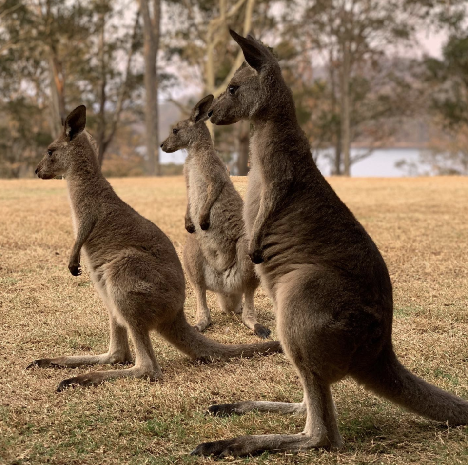 Kangaroos by the riverbank at Wild2Free the day before the fires hit. Source: Wild2Free