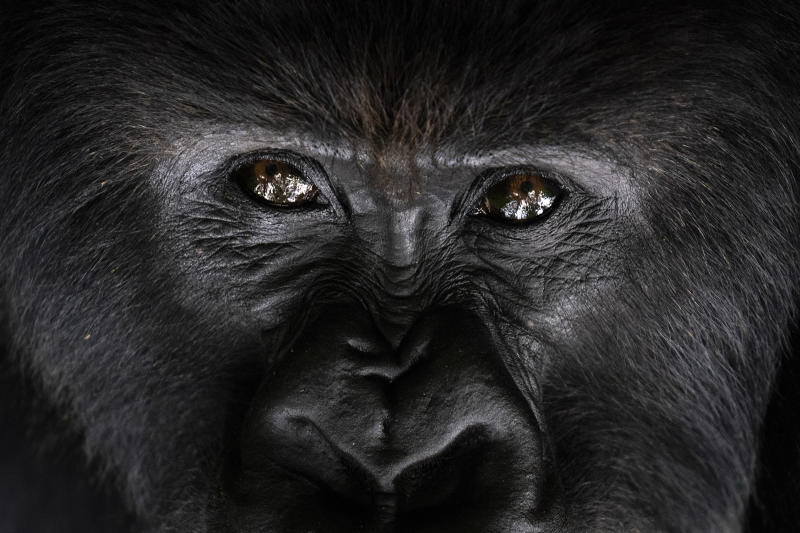 Africa's mountain gorillas also at risk from coronavirus