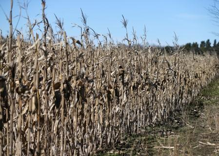 USFILE PHOTO: Corn plants are seen in a farm in Lujan, on the outskirts of Buenos Aires