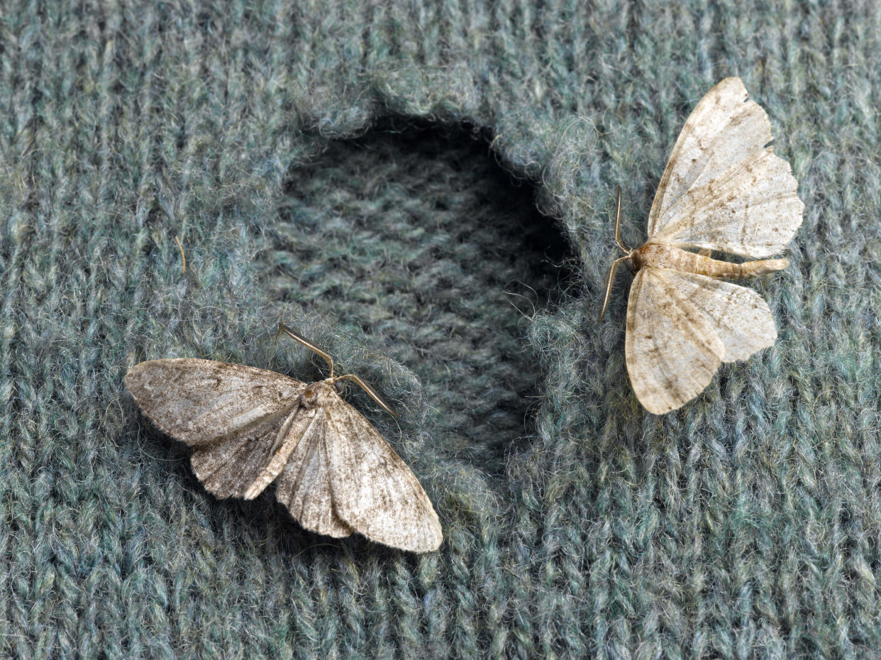 Carpet moths are wreaking havoc on the nation's clothes (Getty Images)