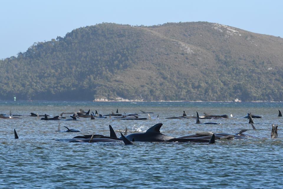 Hundreds of pilot whales are seen stranded on a sand bar on September 21, 2020 in Strahan, Australia. (Photo by The Advocate - Pool/Getty Images)